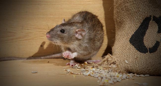 Hướng dẫn cách đuổi, diệt chuột ra khỏi nhà tận gốc