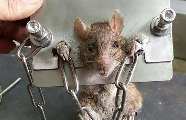 cách diệt chuột bằng bẫy