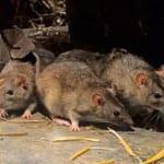 Hướng dẫn 15 cách đuổi, diệt chuột ra khỏi nhà tận gốc