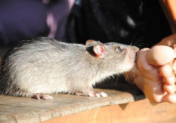 chuột nguy hiểm như thế nào