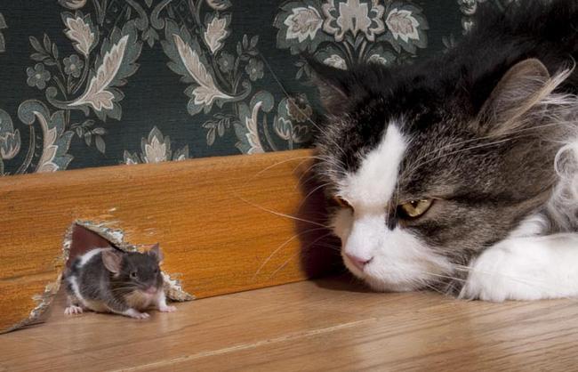 nuôi mèo đuổi bắt chuột